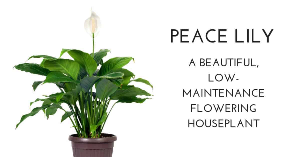 peace lily flowering houseplant