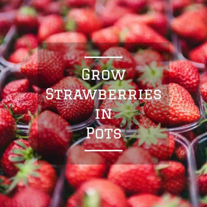The Complete Guide To Growing Strawberries in Containers