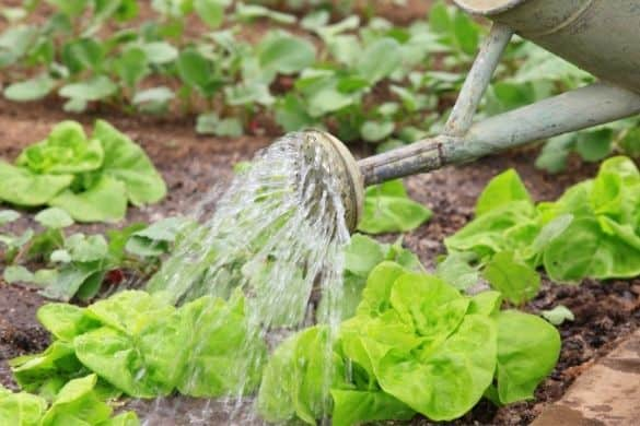 How to Water Your Vegetable Garden Correctly