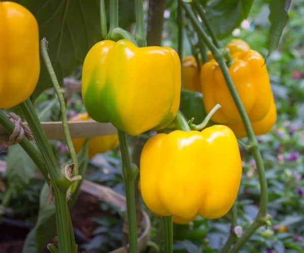 12 Secrets for Growing Bell Peppers